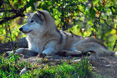 reclining wolf