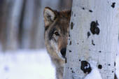 Wolf peeking around tree