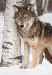 Grey Wolf by birch tree