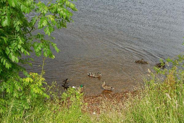 Ducks in Loch Ness