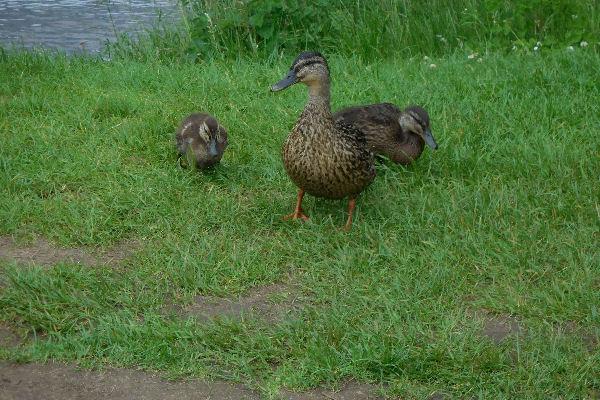 Loch Ness ducks
